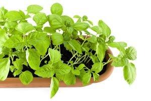 Bylinky - zdraví, které roste v zahrádce i na parapetu