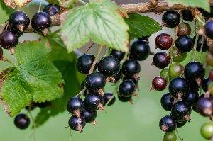 černý rybíz, nemoci, zdraví, léčba, močové cesty, bobulovité ovoce