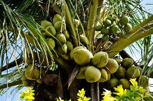 Kokosový olej posiluje imunitní systém a přispívá ke zdravému fungování srdce