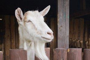 Kozí mléko - zdravá alternativa kravského mléka, vhodná i pro děti
