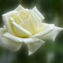 rose-140446_960_720.jpg