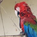 Máme doma papouška, kterého budeme poslouchat