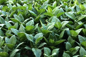 Plodiny, které pocházejí z Ameriky a ovlivňují náš život