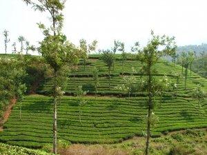 Zelený čaj a jeho léčivé účinky