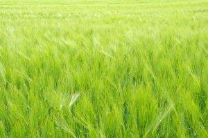 Zelený ječmen - nejen potravina budoucnosti